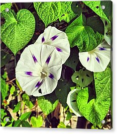 White And Purple Morning Glory Blooming Acrylic Print
