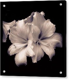 White Asiatic Lily Acrylic Print
