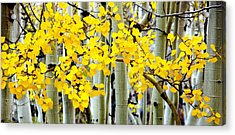 White Aspen Golden Leaves Acrylic Print
