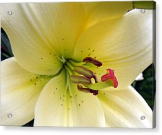 White Beauty Acrylic Print by Julie Williams