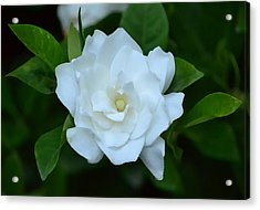 Acrylic Print featuring the photograph White Beauty by Rima Biswas