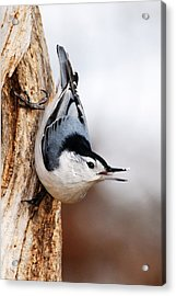 White-breasted Nuthatch 3 Acrylic Print by Larry Ricker