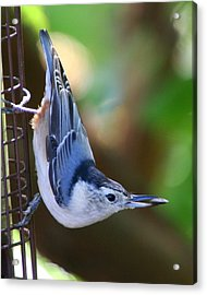 Acrylic Print featuring the photograph White-breasted Nuthatch by Laurel Talabere