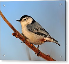 White-breasted Nuthatch Acrylic Print by Tony Beck