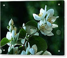 Acrylic Print featuring the photograph White Buds And Blossoms by Steve Taylor
