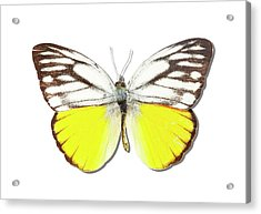 White Butterfly Of Indonesia Acrylic Print by MajchrzakMorel