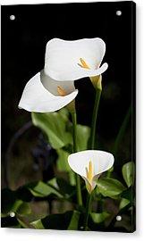 White Calla Lilies Acrylic Print by Tobias Titz