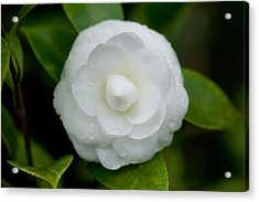 White Camellia Acrylic Print by Rich Franco