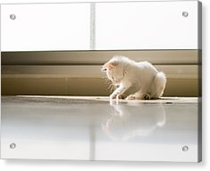 White Cat Playing On The Floor Acrylic Print