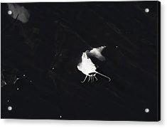 White Catfish Acrylic Print