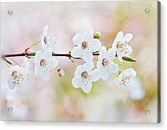 White Cherry Blossom Acrylic Print by Jacky Parker Photography