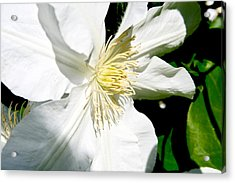 White Clematis Acrylic Print