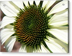 Acrylic Print featuring the photograph White Coneflower Daisy by Donna Corless