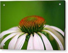 White Coneflower Acrylic Print