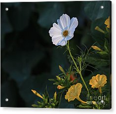 White Cosmos And Four O'clock Floral Acrylic Print by Marjorie Imbeau