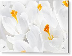 White Crocus Blossoms Acrylic Print by Elena Elisseeva