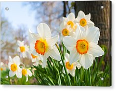 Acrylic Print featuring the photograph White Daffodils by Hans Engbers