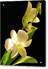 White Dendrobium Acrylic Print by Andrea Drake