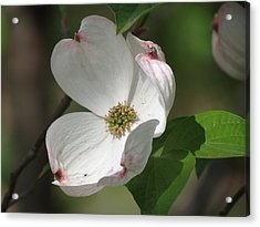 White Dogwood Tree Bloom Acrylic Print