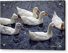 White Ducks Acrylic Print by Elena Elisseeva