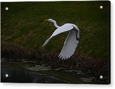 White Egret Acrylic Print by Randy J Heath