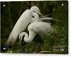 Acrylic Print featuring the photograph White Egrets Working Together by Myrna Bradshaw