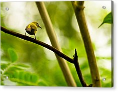 Acrylic Print featuring the photograph White-eye by Justin Albrecht