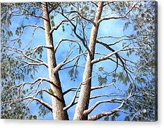 White Fir Tree Acrylic Print by Ron  Markowitz