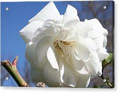 White Flower Acrylic Print by Eduardo Bouzas
