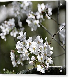 White Flowering Plum Acrylic Print