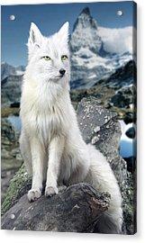White Fox At Matterhorn Acrylic Print by Julie L Hoddinott