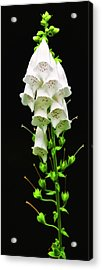 Acrylic Print featuring the photograph White Foxglove by Albert Seger