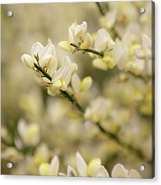 White Fragrant Flower Close Up Acrylic Print