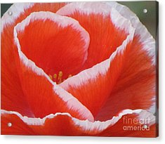Acrylic Print featuring the photograph White Fringed Red Poppy by Michele Penner