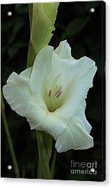 White Gladiolus Acrylic Print by Marjorie Imbeau