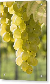 White Grapes Acrylic Print by Michael Interisano