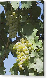 White Grapes On The Vine Acrylic Print by Michael Interisano