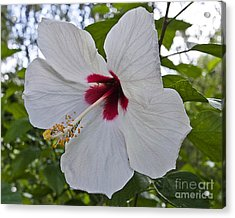 White Hibicus Acrylic Print