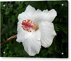 Acrylic Print featuring the photograph White Hibiscus by Carol Sweetwood