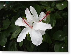 White Hibiscus Twins Acrylic Print by Craig Wood