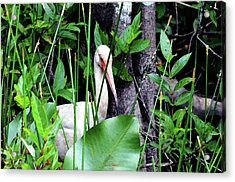 Acrylic Print featuring the photograph White Ibis At The Everglades by Pravine Chester