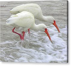 White Ibis Feeding Acrylic Print by Anne Gordon