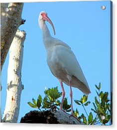 White Ibis In The Treetop Acrylic Print by Judy Via-Wolff