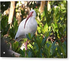 White Ibis Acrylic Print by Judy Via-Wolff