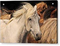 White Icelandic Horse Acrylic Print