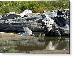 White In Flight Acrylic Print by Chris Anderson