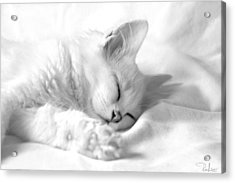 White Kitten On White. Acrylic Print