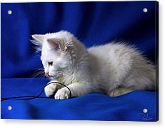 White Kitty On Blue Acrylic Print