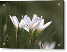 Acrylic Print featuring the photograph White Lily - Symbol Of Purity by Ramabhadran Thirupattur