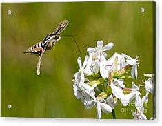 White-lined Sphinx Hummingbird Moth Acrylic Print by Fred Emms